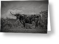 Longhorn Of Bandera Greeting Card
