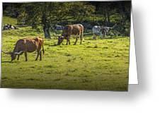 Longhorn Steer Herd In A Pasture Greeting Card