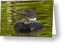 Loon Chick Rides On A Parents Back Greeting Card