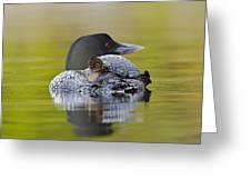Loon Chick Resting On Parents Back Greeting Card