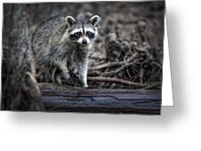 Louisiana Raccoon II Greeting Card