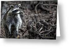 Louisiana Raccoon Greeting Card