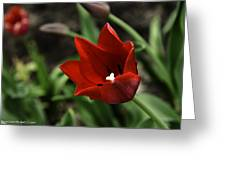 Love Tulip Time Greeting Card