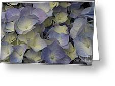 Lovely In Blue And White - Hydrangea Greeting Card