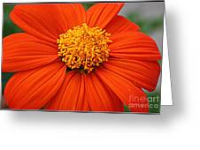 Lovely In Orange - Mexican Daisy Greeting Card