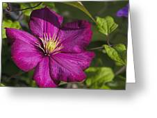 Lovely Magenta Pink Clematis Blossom Greeting Card