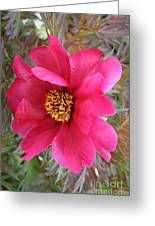 Lovely Peony Greeting Card