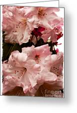 Lovely Pink Rhododendrons With Border Greeting Card