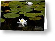 Lovely Pond Lily Greeting Card