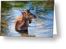 Lovely Time In Water.  Male Deer In The Pampelmousse Botanical Garden. Mauritius Greeting Card by Jenny Rainbow