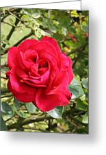 Lovely Red Rose Greeting Card