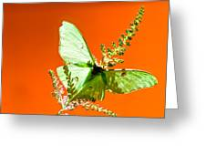 Luna Moth On Astilby Orange Back Ground Greeting Card
