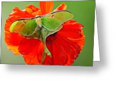 Luna Moth On Poppy Square Format Greeting Card