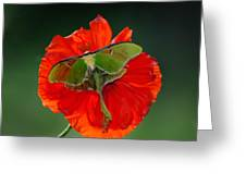 Luna Moth Orange Poppy Green Bg Greeting Card