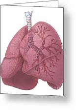 Lungs And Bronchi Greeting Card