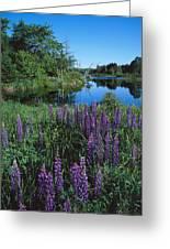 Lupin And Lake-v Greeting Card