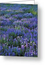 Lupine And Aster Greeting Card