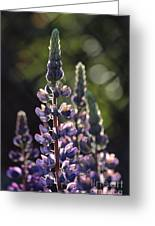Lupine At The Gate Greeting Card