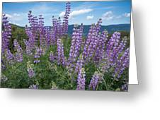 Lupine Blooms Of Bald Hills Greeting Card