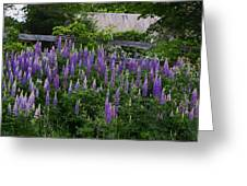 Lupine By The Fence Greeting Card