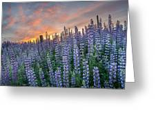 Lupine Dawn Greeting Card