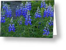 Lupine Family Greeting Card