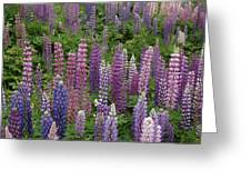 Lupine Mix Greeting Card