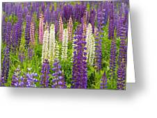 Lupine Potpourri Greeting Card