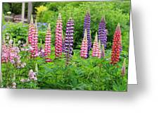 Lupines 5976 Greeting Card