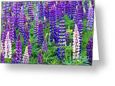 Lupines Greeting Card