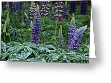 Lupines In The Rain Greeting Card