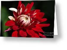 Lush Red Dahlia Greeting Card