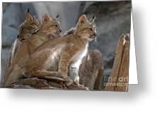 Lynx Trio Greeting Card