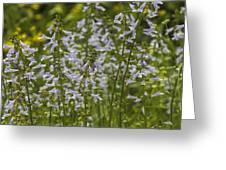Lyreleaf Sage Wildflowers - Salvia Lyrata Greeting Card