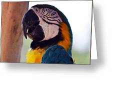 Macaw Head Study Greeting Card