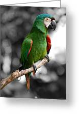 Macaw With Black And White Background Greeting Card