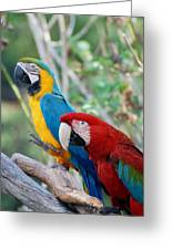 Macaws Of Color23 Greeting Card