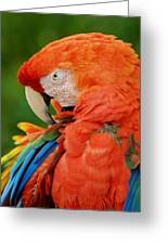 Macaws Of Color29 Greeting Card