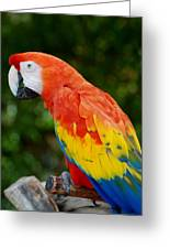 Macaws Of Color33 Greeting Card