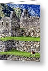 Machu Picchu - Grazing Lamas Greeting Card