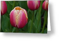 Mackinac Tulip 10386 Greeting Card