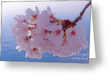Macro Dc Cherry Blossoms Greeting Card