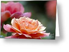 Macro Orange And Pink Floribunda Rose Greeting Card