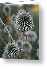 Macro Seed Head Of Round Headed Garlic  Greeting Card
