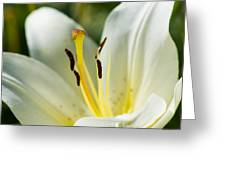 Madonna Lily - Featured 3 Greeting Card