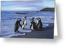 Magellanic Penguin Trio On Beach Greeting Card