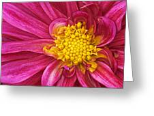 Magenta Dahlia Greeting Card
