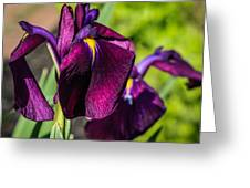 Magenta Iris Greeting Card