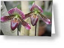 Magenta  Lady Slippers Greeting Card