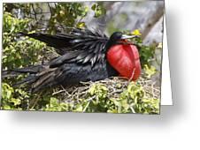 Magnificent Frigatebird Galapagos Greeting Card